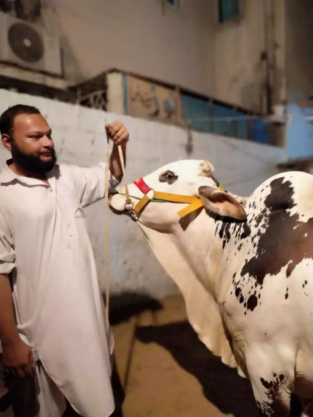 Cow - Cow - Buy and Sell Pets in Karachi