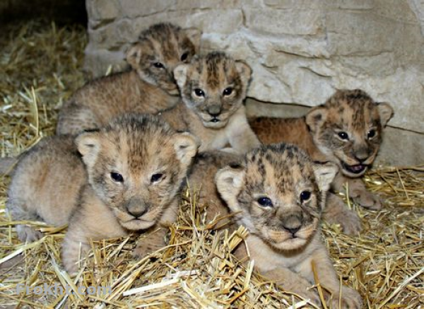 Lion - Lion - Buy and Sell Pets in Karachi