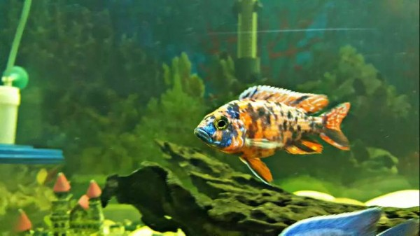 Malawi chicleds - Fish - Buy and Sell Pets in Karachi