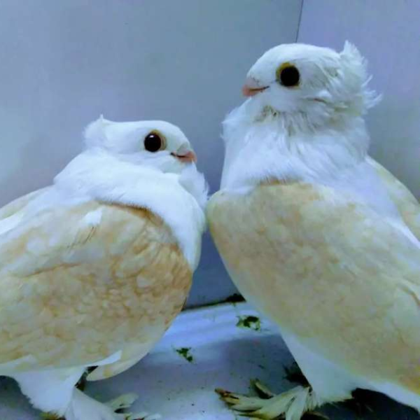 CHOCLATE /YELLOW SATTINETS CHICKS PAIR - Bird - Buy and Sell Pets in Karachi