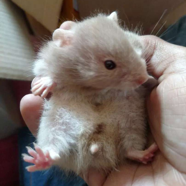 Long haired hamster babies - Mouse & Hamsters - Buy and Sell Pets in Karachi