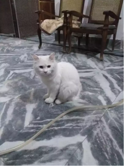 Theron - kitten for sale - Cat - Buy and Sell Pets in Faisalabad