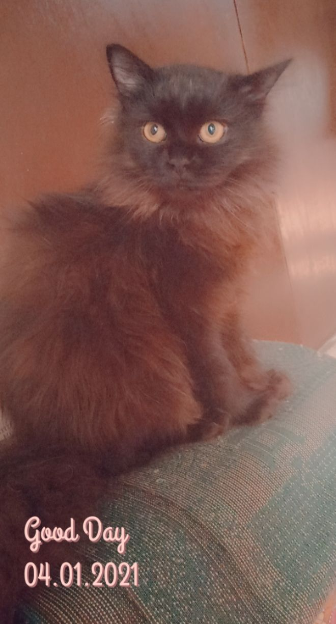 misty - Cat - Buy and Sell Pets in Abbottabad