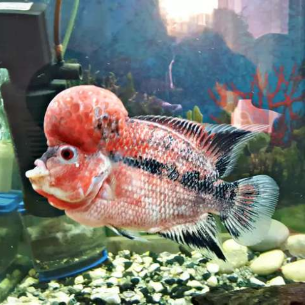 A grade male - Fish - Buy and Sell Pets in Karachi