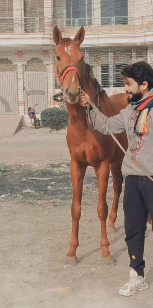 Tharo breed - Camel - Buy and Sell Pets in Sahiwal
