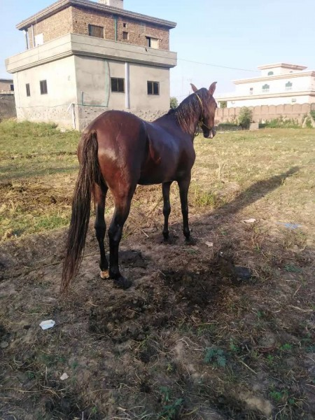 horse - Horse - Buy and Sell Pets in Sialkot City