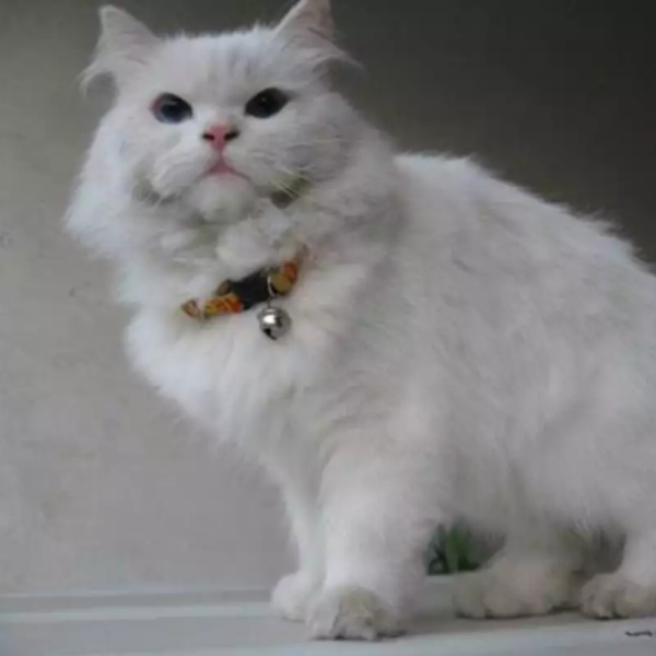 Zatney - persian - buy cat online - Cat - Buy and Sell Pets in