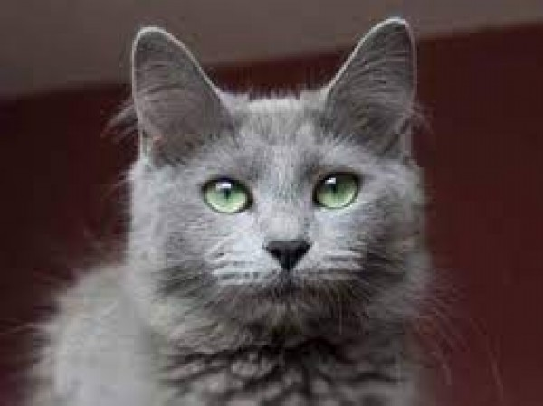Russian Blue - Cat - Buy and Sell Pets in Lahore