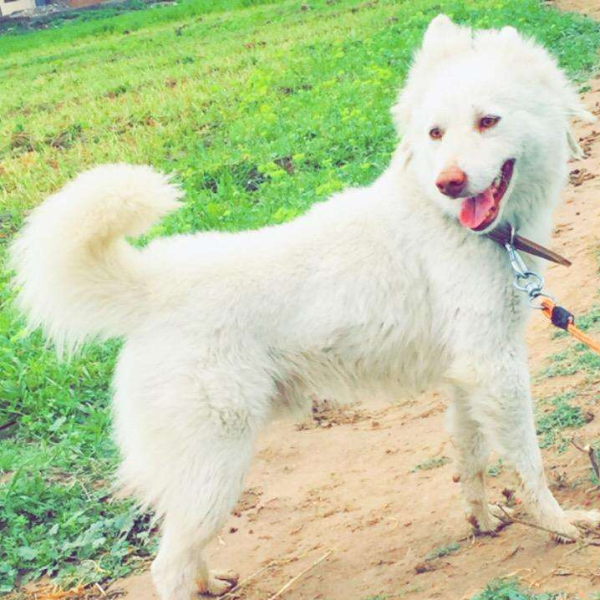 Tony - Dog - Buy and Sell Pets in Gujrat