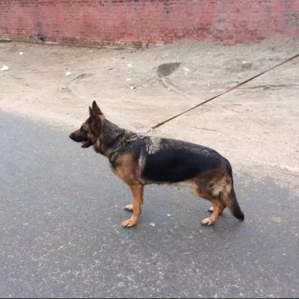 jinoi- dog for sale - Dog - Buy and Sell Pets in Lahore
