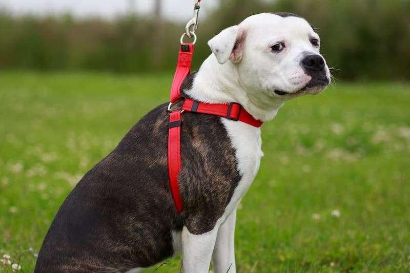 Dog Cat Harness - Pet Accessories - Pet Store - Pet supplies